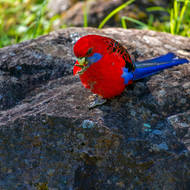 Crimson Rosella on a rock.
