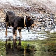 Lotto, the cattle dog, grabbing a quick drink while watching his herd.