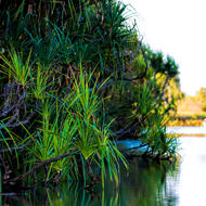 Pandanus pines overhang the still waters of the billabong, while anglers try their luck.