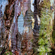 Wet bark and compression rings on a large eucalypt tree.