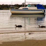 Ducks in a row on the Noosa River.