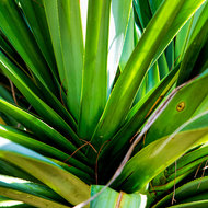 Patterns of nature, Pandanus Pine.