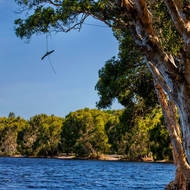 Rope swing from a paperbark tree over Lake Ainsworth.