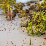 Mangroves at low tide.