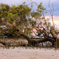Mangrove tree exposed at low tide, later afternoon.