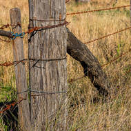 Prickly Pear cactus on fence post.