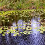 Water lilies and reeds.