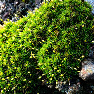 Thread moss, orthodontium lineare, in flower.