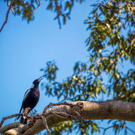 Australian Magpie, cracticus tibicen, calling out.