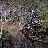 Afternoon reflections, paperbark, melaleuca, in Saltwater Creek.