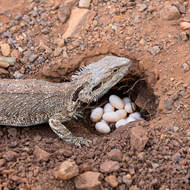 Eastern bearded dragon, pogona barbata, laying eggs in a nice sunny spot on a trail.