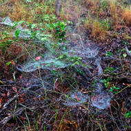 Morning mist highlights webs of tent spiders, cyrtophora citricola.