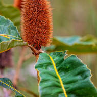 Banksia.