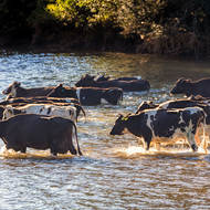Cows fording Bellinger River, undercarriages barely wet for those sensible enough.