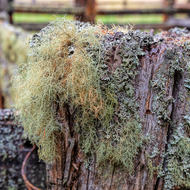 Moss covered cattle yard fence.