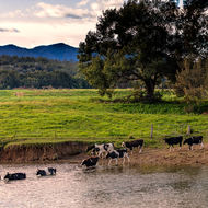 Cows fording river late afternoon.